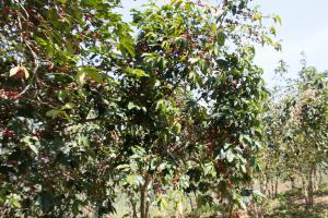 Burundi Shimu